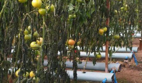 Frio intenso prejudica produção hortigranjeira na região da serra gaúcha